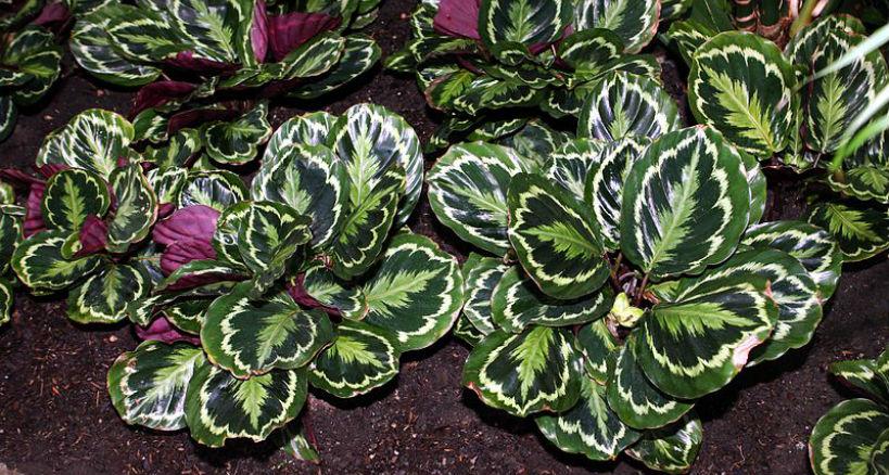 consejos cuidado cuidado planta Calathea
